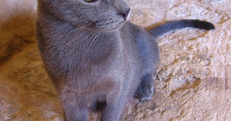 Como treinar um gato para defecar no banheiro. Gatos são animais limpos que geralmente se recusam a defecar em suas caixas de areia se estiverem sujas. Enquanto uma caixa de areia regularmente limpa é uma boa maneira de um gato conviver dentro de casa com seus donos, limpar a caixa de areia pode ser uma tarefa chata, especialmente se o gato está com dor de estômago. Treinar um gato para ...