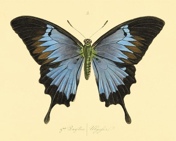 Vintage Blue Butterfly Print Nature print Natural History old prints Victorian art vintage prints Home decor wall art 8x10 art print