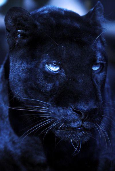 Panther? Black Leopard?