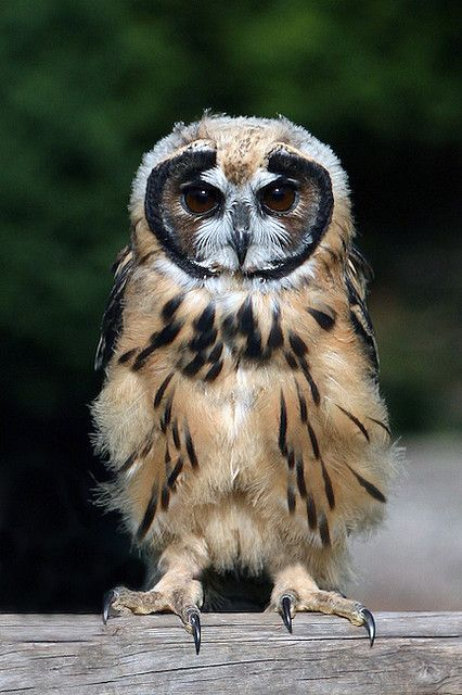 Striped Owl (photo by Exmoor Owl&Hawks)