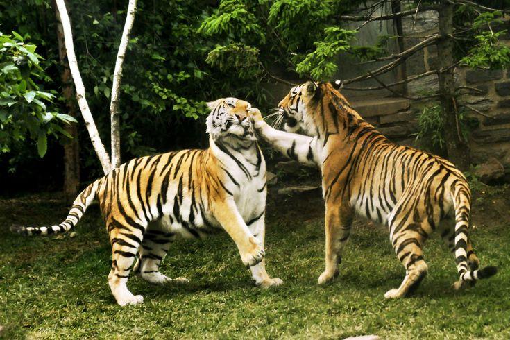 Tiger play. Philadelphia Zoo