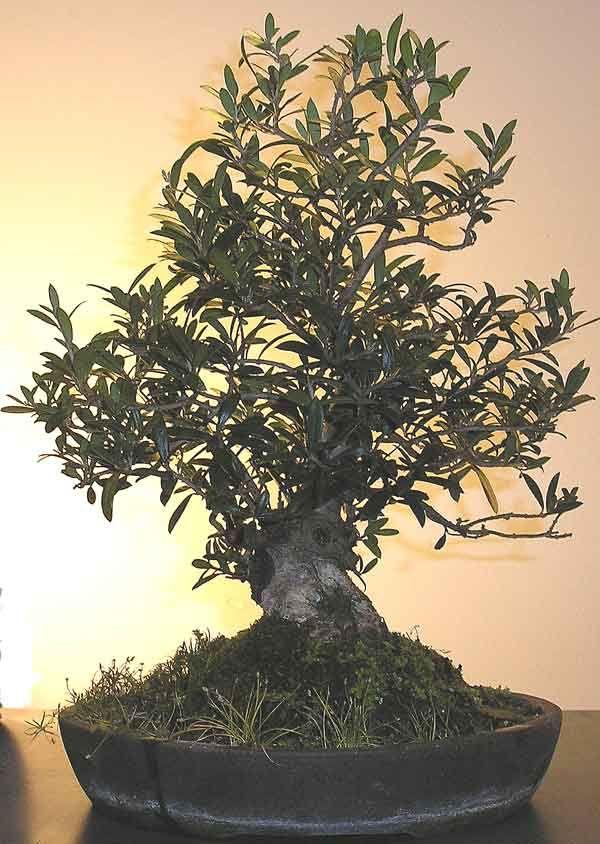 Olea Europaea, Olive