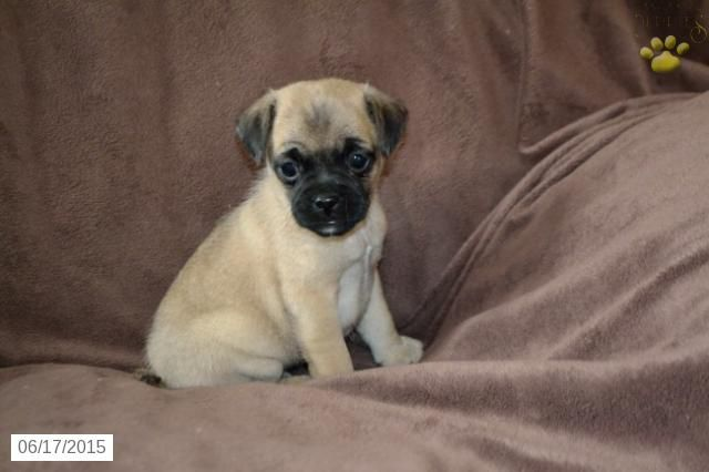 Jug Puppy for Sale in Ohio #BuckeyePuppies