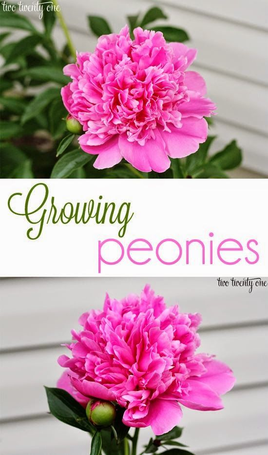 Tips on Growing Peonies. Good to Know...