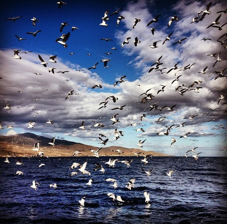 Seagulls playing in Karystos, Evoia, by Kostas Agrimis.