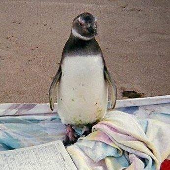 El pobre pinguino llegó a las playas de Costa Bonita, a pocos kilómetros de Necochea arrastrado, seguramente por las corrientes creadas por los vientos que pupulan en esas costas del sur de Buenos …