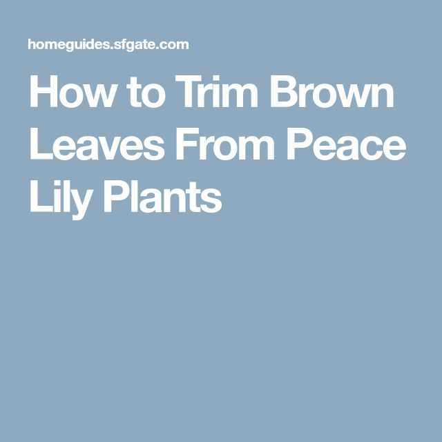 How to Trim Brown Leaves From Peace Lily Plants