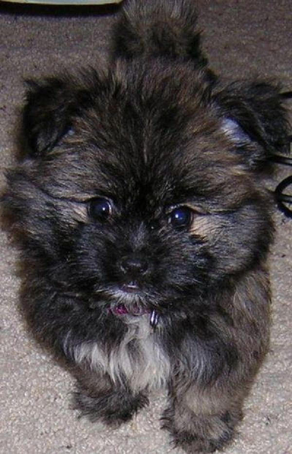 shih tzu mix for sale best 20 pomeranian mix ideas on pinterest husky 8876