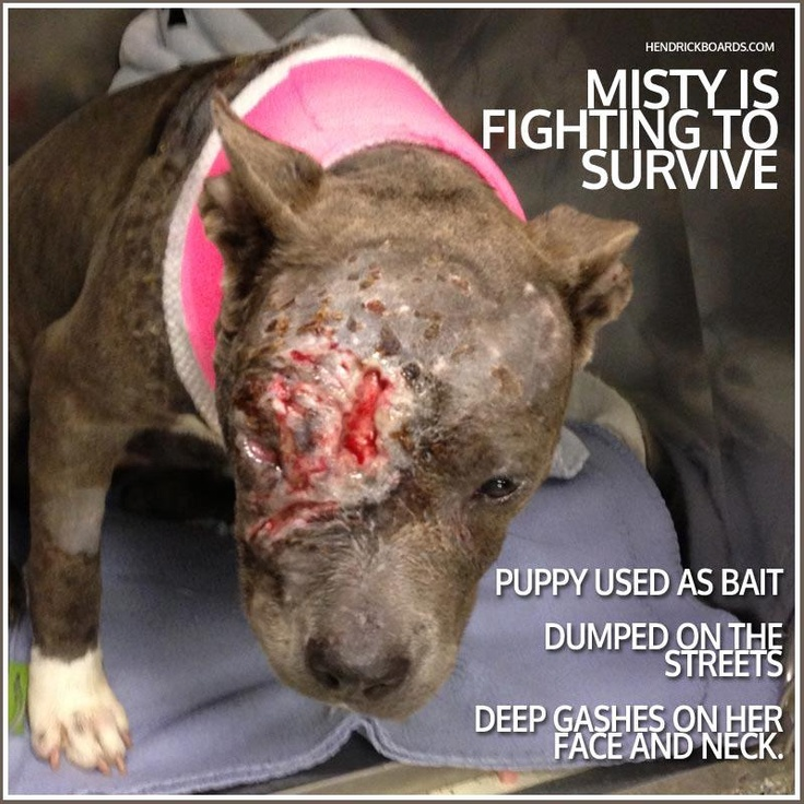 """""""Misty, only 6-9 months old, was used as a bait dog. She ended up at the shelter after being abandoned on a corner in Brooklyn. It was a bad attack and her wounds on her head/face go deep, to her skull. ..."""""""