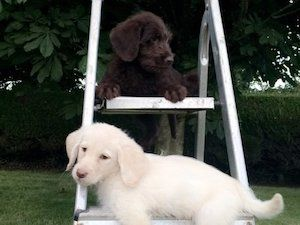 Labradoodle: Dogs For Sale in Ireland - DoneDeal.ie