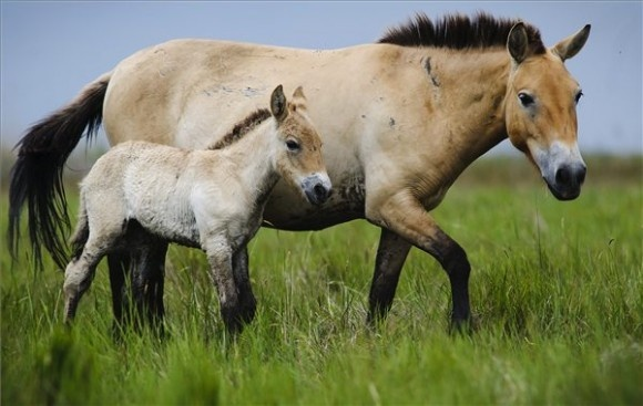Asian Wild Horses were thought to be extinct in the wild in 1996, until one surviving adult was found. Today, there are 50 mature adults living in the wild, but they face trouble from hybridization with domestic horses, loss of genetic diversity, and disease.