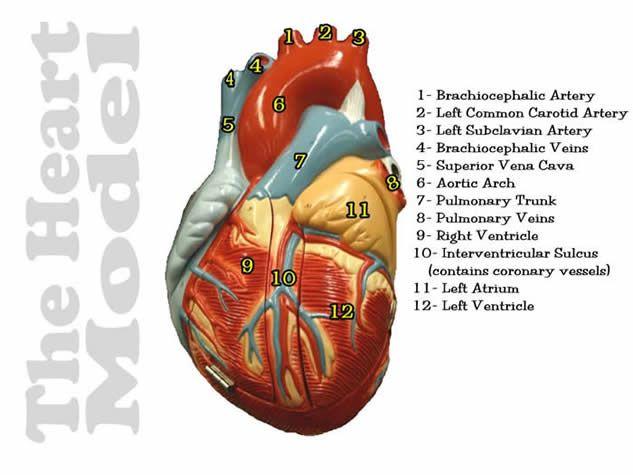 heart model pectinate muscle   heart model opened closed ...