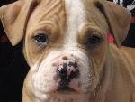 American pitbulls advocacy site