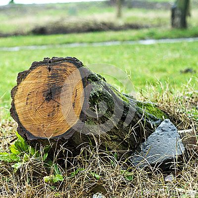 Tree Stump -Tree stump with recent saw cut resulting from the trees removal from the park following a severe storm. Photo taken on: February 07th, 2015  © Morgan Capasso