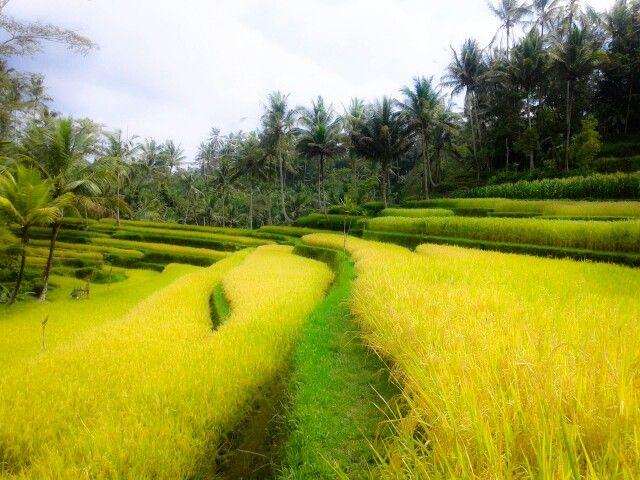 Rice paddies Gunung Kawi Bali Indonesia