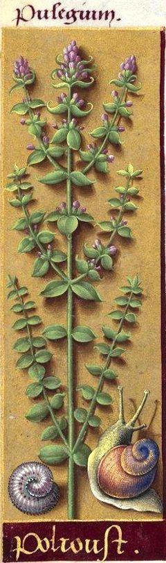 Polioust - Pulegium (Mentha Pulegium L. = menthe pouliot) -- Grandes Heures d'Anne de Bretagne, BNF, Ms Latin 9474, 1503-1508, f°10v