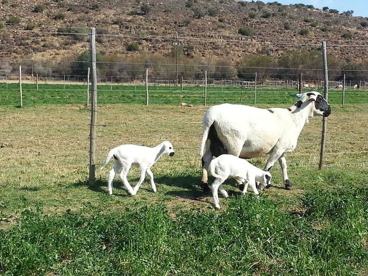 Meatmaster Ewe, twins. South Africa