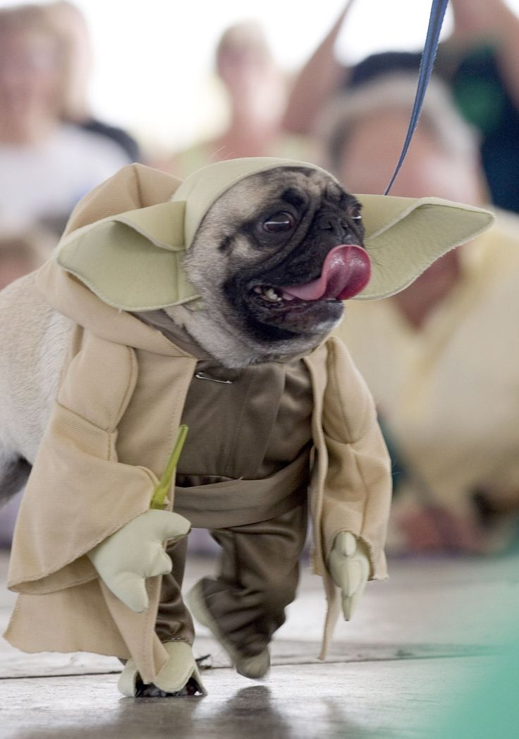 35 creative halloween costumes for pets - Pugs Halloween
