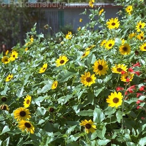beach sunflower - ground cover - blooms most of the year.  Just need to make sure to keep it under control. Z