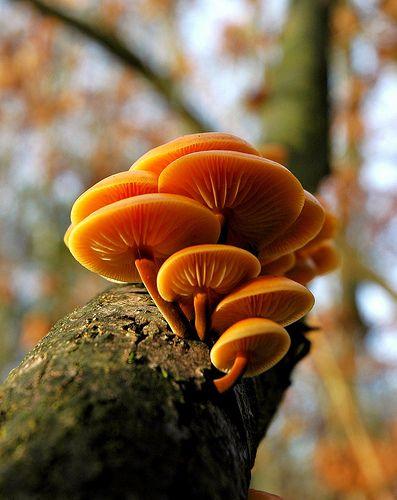 A wonderful edible species of wild mushroom, Velvet foot mushrooms (Flammulina velutipes) - By Lothar Monshausen.