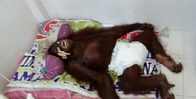 Covesia.com - Sungguh mengenaskan, orangutan yang tengah hamil tiga bulan, bernama Sari (15) tewas usai diperkosa dua pejantan lainnya di Kebun Binatang Kandi,...