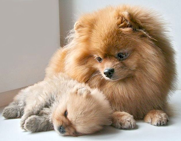 baby pomeranian dogs 171261 best stin up only images on pinterest cards 7645