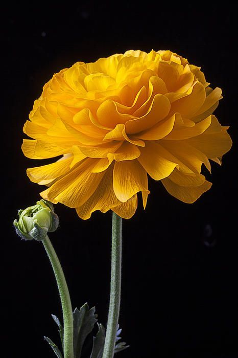 Yellow Ranunculus Print by Garry Gay: