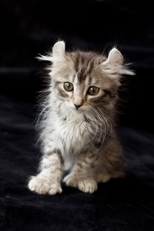 ear tufts and paws, oh my gosh, this looks like one of my