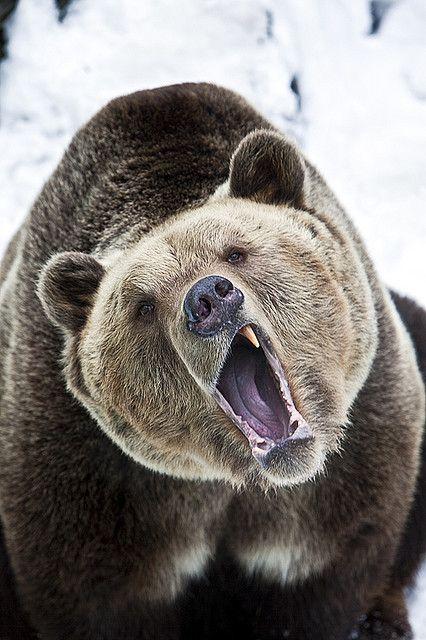 L'ours incarne l'auto observation, dans la mesure où il se retire dans une grotte en hiver pour digérer les événements de l'année écoulée. Son enseignement est qu'il est important de savoir se retirer du vacarme et de son flot de pensée. Car c'est dans le silence qu'il est possible d'entendre son esprit et d'obtenir des réponses à ses questions