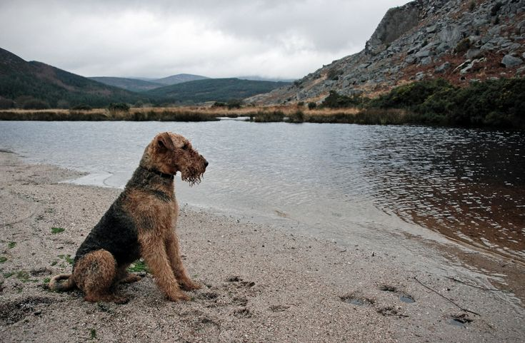 Airedale Terrier  -- my all-time favorite dog (not of my own family) was an Airedale/Old English sheepdog cross named Harrigan.