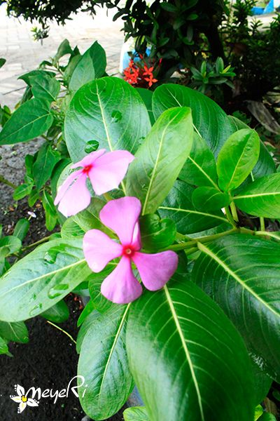 Tapak Dara - Catharanthus roseus -  chang chun hua ' china - rose periwinkle ' inggris - soldaten bloem ' Belanda. perdu tahunan yang berasal dari Madagaskar, namun telah menyebar ke berbagai daerah tropika lainnya. Bunga dan daunnya berpotensi menjadi sumber obat untuk leukemia dan penyakit Hodgkin