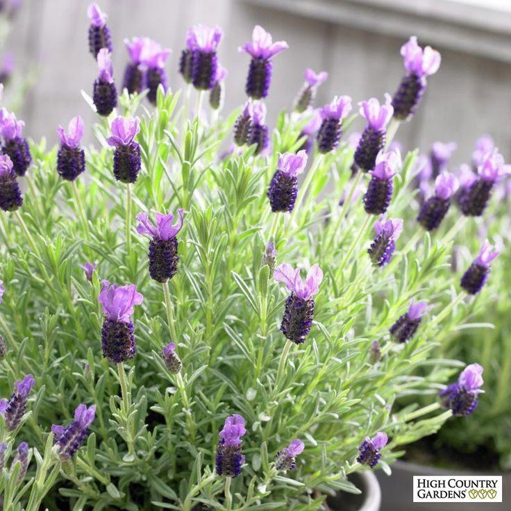 Anouk Spanish Lavender Lavender Plant Spanish Lavender Lavender Varieties