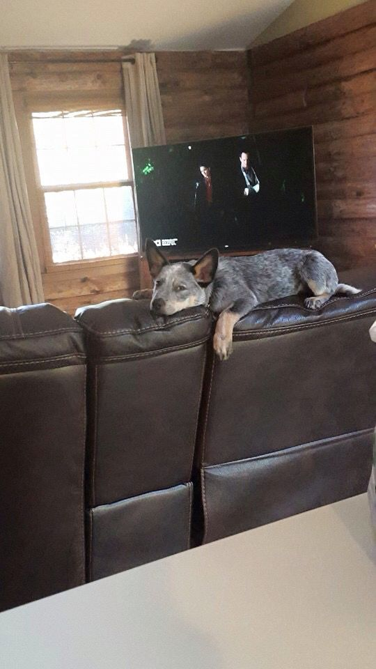 yep that's a heeler. claiming the furniture