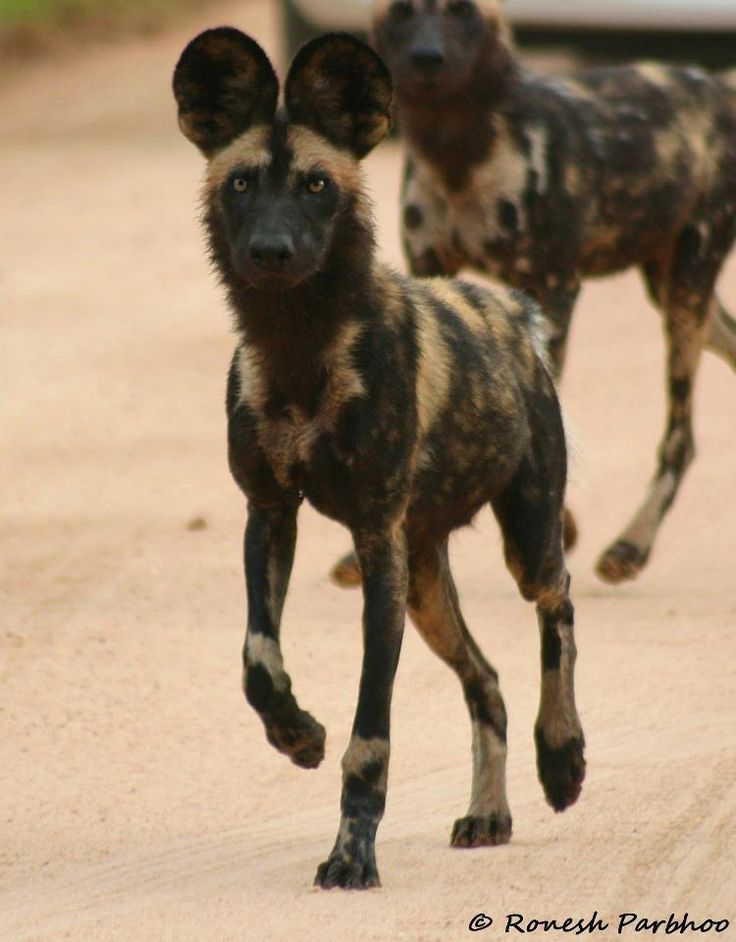 African Wild Dogs at Kruger National Park, South Africa by Ronesh Parbhoor Wildlife Photography  https://www.facebook.com/pages/Ronesh-Parbhoo-Wildlife-Photography/177242835673208