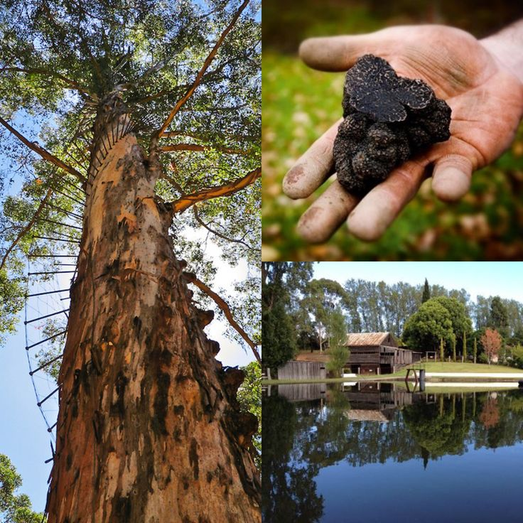 The countdown is over! Number 1 on Australia's Must-Do Destinations for 2015 is... *Drum roll please* - Manjimup!  Have you ever been truffle hunting? This is the place to be & we have some great hotel options!