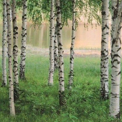Fototapet - Nordic forest 290 - tapet med træer. Flot fotostat med morgenstemning ved en birkelund med et vandhul i baggrunden, et billede der næsten har terapeutisk virkning.