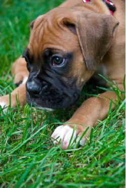 Boxer Breed Information & Pictures (German Boxer, Deutscher Boxer)