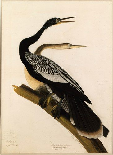 "John James Audubon (American ornithologist, naturalist, and painter, 1785–1851), Anhinga. From ""Audubon's Aviary: Natural Selection"" Audubon Watercolors, March 30, 2007 – May 20, 2007. At the New-York Historical Society. Photo courtesy of Denis Finnin/AMNH."