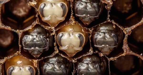 From egg to buzzing pollinator, a photographer captures the secret life of bees and it's nothing short of mesmerizing.