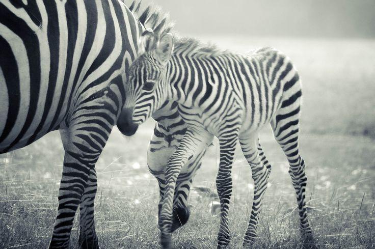 Happy Father's Day! 👨 📷: Xiaojun Deng #FathersDay #Zebra #Safari