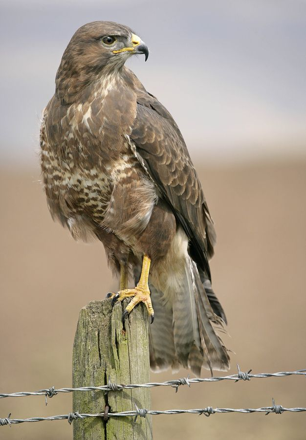 European Buzzard. One of these has been in our garden for the past 2 weeks.