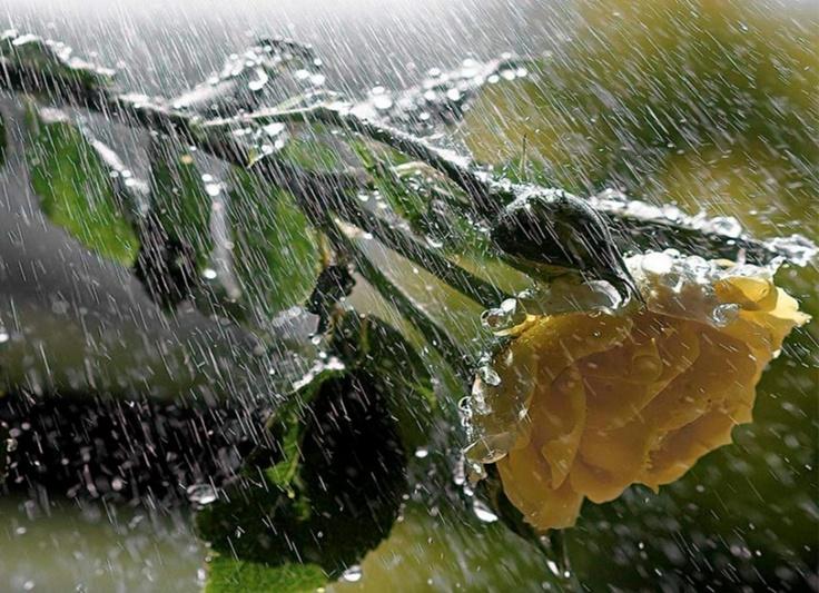 Завораживающее летнее зрелище - роза под дождем | Inetrest