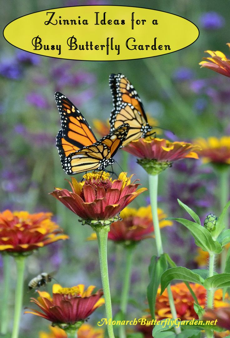 5 Big Zinnia Flowers For Busy Butterfly Garden + Growing Tips