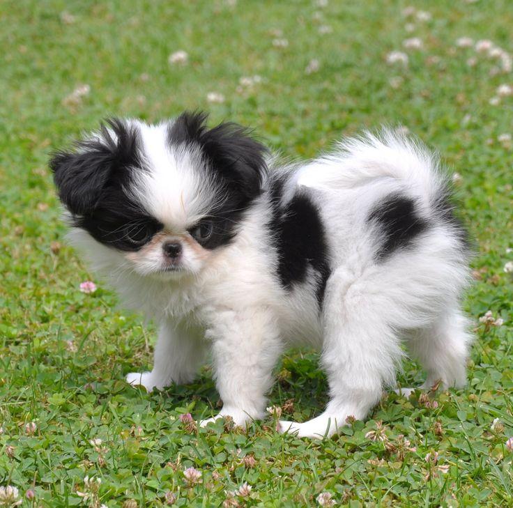 japanese chin puppy | Pets | Pinterest