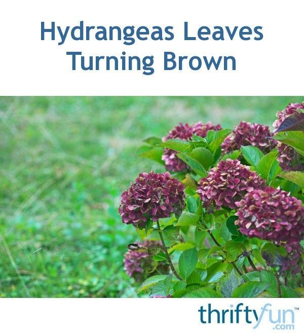 Hydrangeas Leaves Peonies In 2020 Hydrangea Leaves Growing Hydrangeas Hydrangea Potted