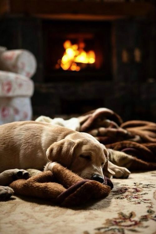 His Favourite Blanket ~ Labrador asleep by the Fire ....