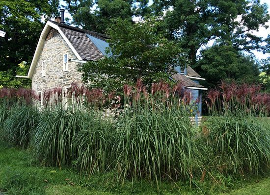 Miscanthus Malepartus makes a beautiful hedge.