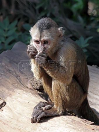 singe capucin ourson Banque d'images - 17587442: singe capucin ourson Banque d'images - 17587442