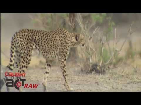 Cheetah chases cheeky Jackal [Caught in the Act RAW]