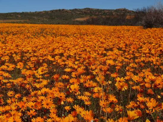 Wildflowers South Africa's West Coast